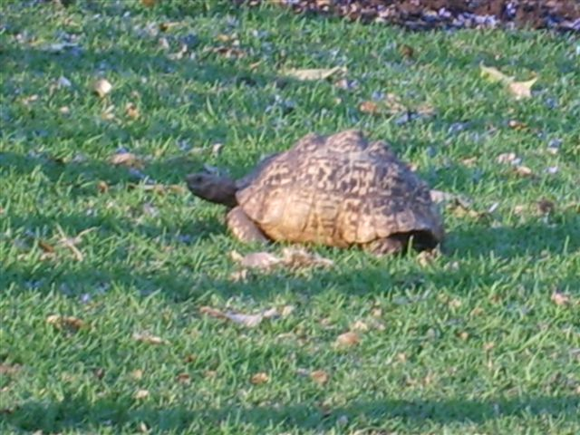 Club Tortoise